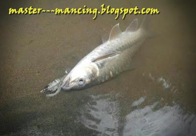 Mancing Mahseer Besar di Sungai, Pingin Tahu