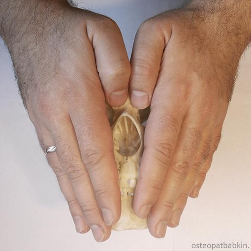 правая и левая половины лицевого черепа