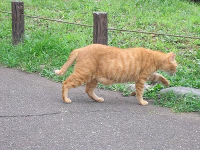 歩いている茶色い野良猫