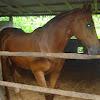 Dongeng Sunda Lucu : Salah Mawa Kuda