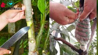 Cara mencangkok tanaman buah dengan mudah