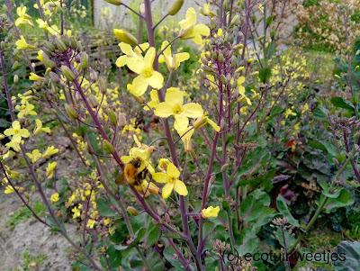 Bloeiende kolen voor bijen en hommels spruitjes spruitkool