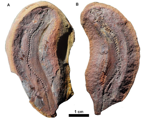 Fossil reveals burrowing lifestyle of tiny dinosaur