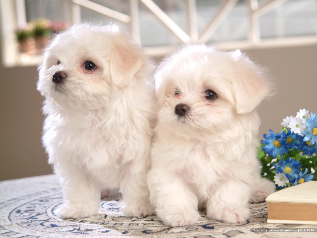 Such Good Dogs: Breed of the Month--Bichon Frise