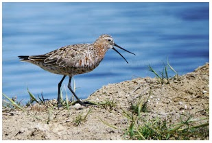 https://ailesetvie.blogspot.com/search/label/B%C3%A9casseau%20cocorli%20-%20Calidris%20ferruginea