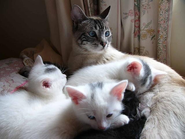 5 raisons pour lesquelles une mère chatte peut abandonner ou rejeter ses petits