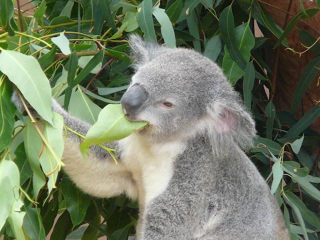 Koala ed eucalipto