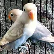 cara mengetahui Lovebird bahan calon ngekek panjang