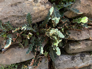 Photo of Asplenium cetarach on a wall in Bergamo.