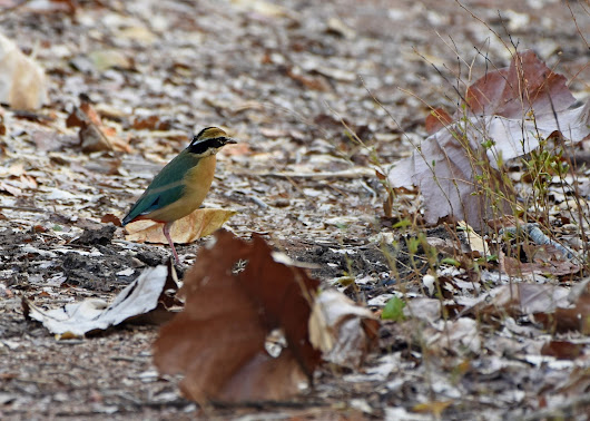 The Indian Pitta - A Little Bundle of Colour