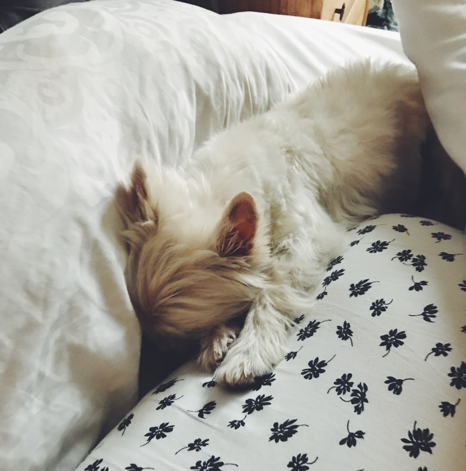 sleeping westie