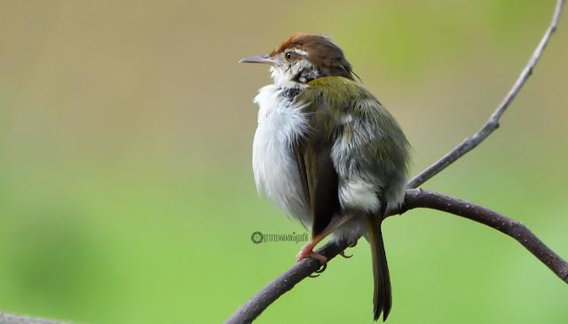 ஆங்கிலப் பெயர்: Tailorbird