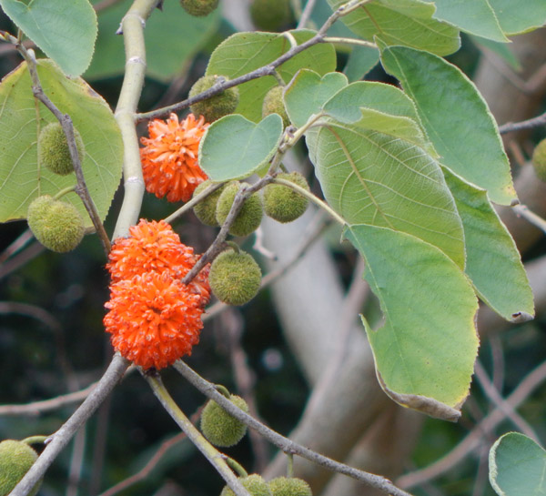The Paper Mulberries are Fruiting | The Survival Gardener
