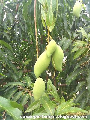 Tips Agar Pohon Mangga Berbuah Banyak
