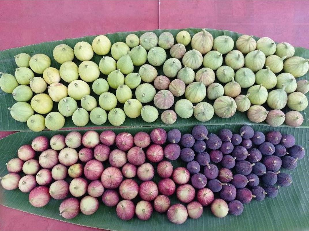 bibit tanaman buah tin aneka varian bibit dari induk yg sudah prodksi buah Bontang