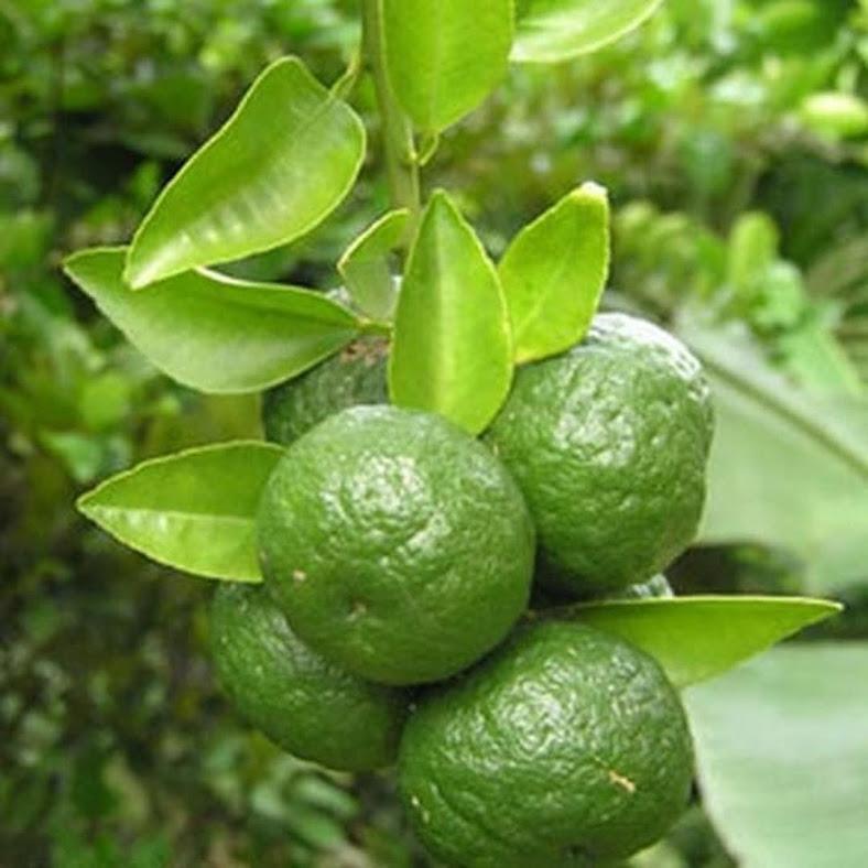 Bibit Buah Jeruk Limo Termurah Bisa Cod Cirebon