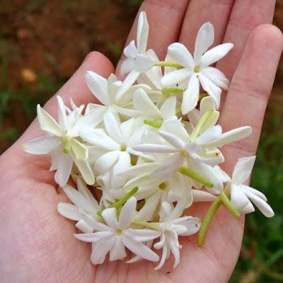 زهور الياسمين