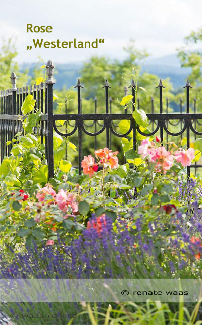 Rosen im Bauerngarten, robuste Rosen für den Garten, Strauchrosen