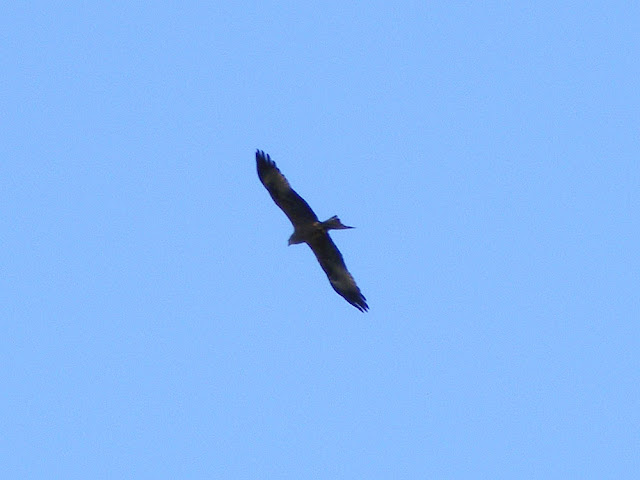 Black kite Milvus migrans. Charente-Maritime. France. Photo by Loire Valley Time Travel.