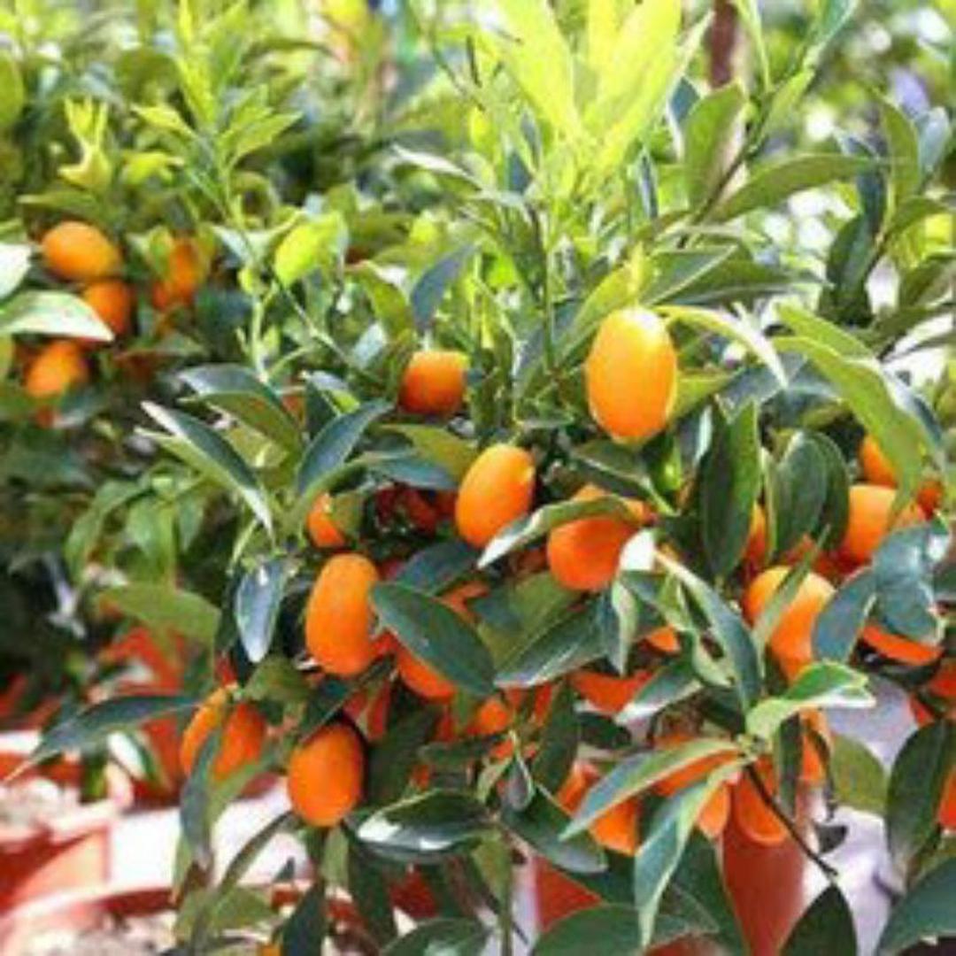 Buruan Beli! bibit jeruk nagami bibit tanaman buah buahan benih buah buahan bibit pohon buah benih tanaman buah Kota Bekasi #bibit buah genjah termurah