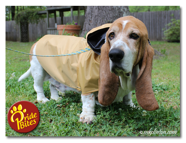 Bentley Basset Hound modeling his Tribeca PrideBites raincoat