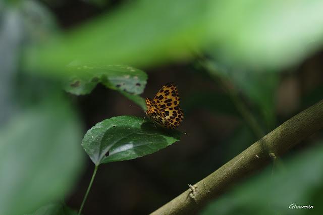 雞南山散步,豹紋蝶