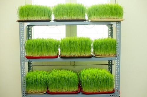 công dụng chữa bệnh của cỏ lúa mì