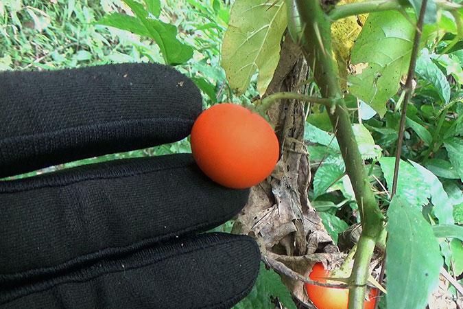 Dlium Cockroach berry (Solanum capsicoides)