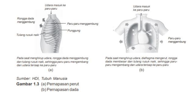 Pernapasan dada dan pernapasan perut