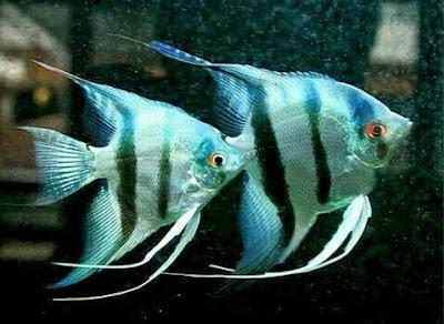ikan angelfish bidadari