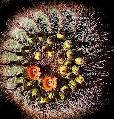 barrel cactus blooming blooms