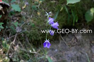 Лесные колокольчики в Понемонье