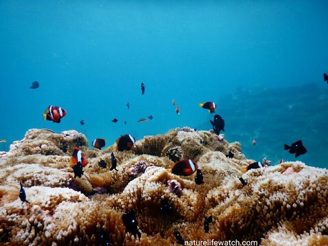Marine life in anemone