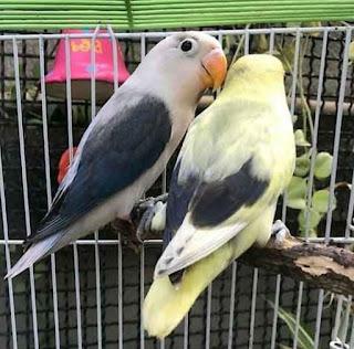 CARA BERTERNAK BURUNG LOVEBIRD