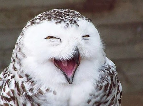 Laughing Owl ( New )