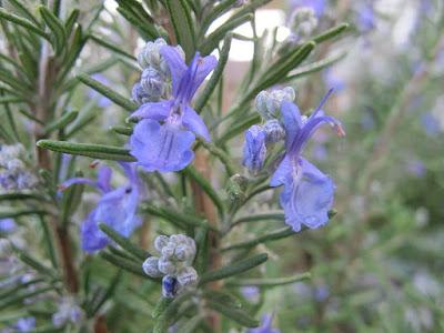 Manfaat Aromaterapi Minyak Esensial Rosemary