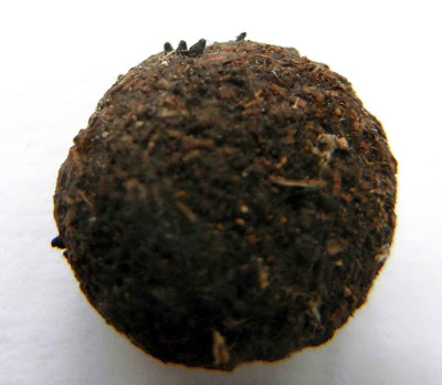 Podospora fungus growing on rabbit pellet