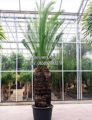 Cycad palm australia
