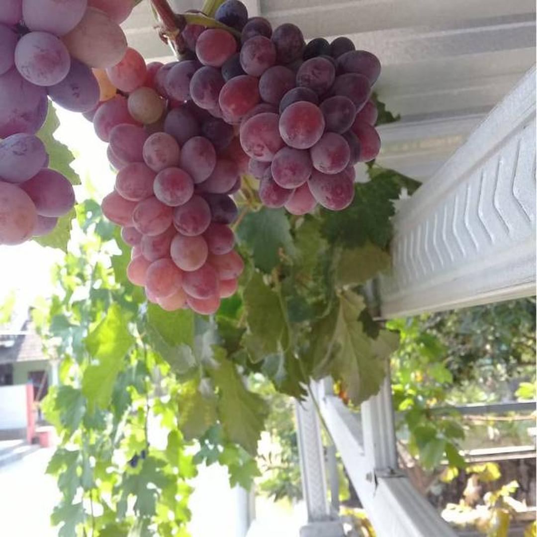 Viral! Bibit Tanaman Buah Anggur Import Count of Monte Crysto Kota Jakarta #bibit buah