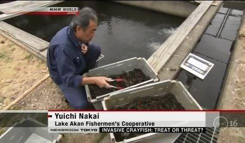 Noli insipientium iniurias pati: Crawfish invade Japan !!!!