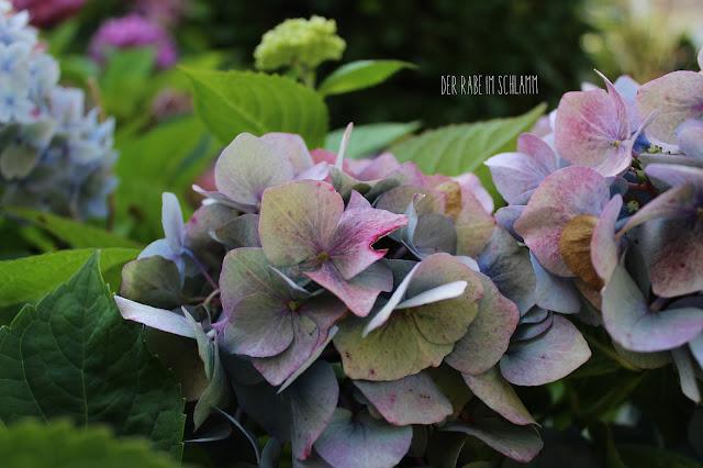 Der Rabe im Schlamm, In meinem Garten, in my garden, Garten, garden, Hortensien, Hydrangea