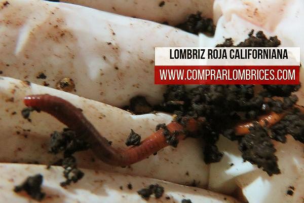 Lombriz roja californiana, Eisenia foetida. Aprende cómo criarla, reproducirla, su alimentación, etc, en Comprar Lombrices