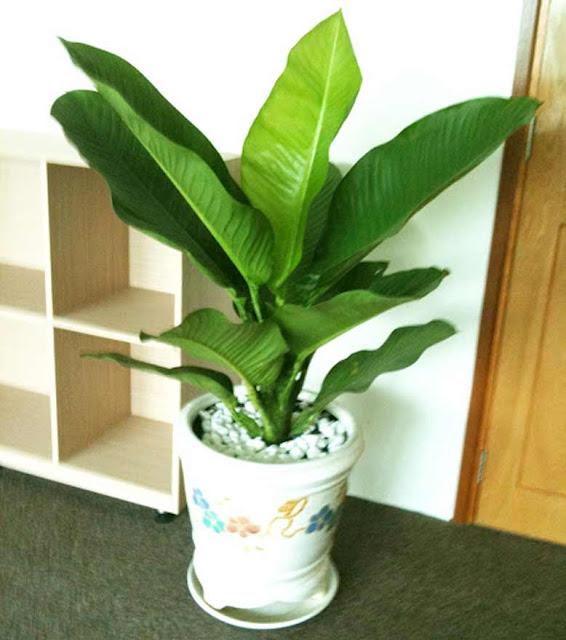 Nên trồng cây gì trong văn phòng làm việc hợp phong thủy