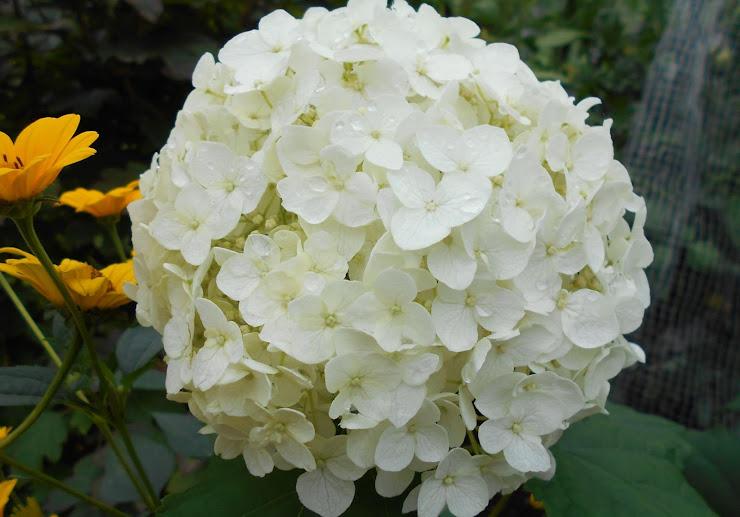 白いアナベル(アメリカアジサイ)