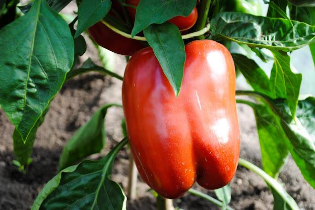 Koduaia paprika