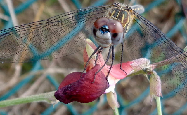 Dragonfly at West Pines Soccer Park & Preserve, ©Colleen M. Dougher, The Invisible Fly