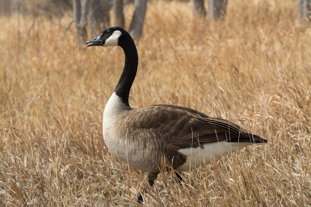 Canada Goose, Fairview Reservoir