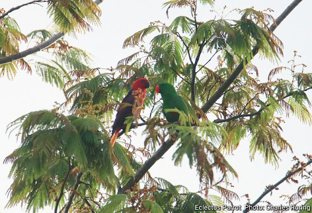 Birding in Manokwari's lowland forest