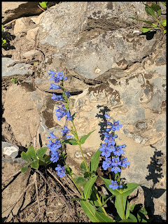 Very Vibrant Blue Bell shaped flowers along the Scout Falls Trail.