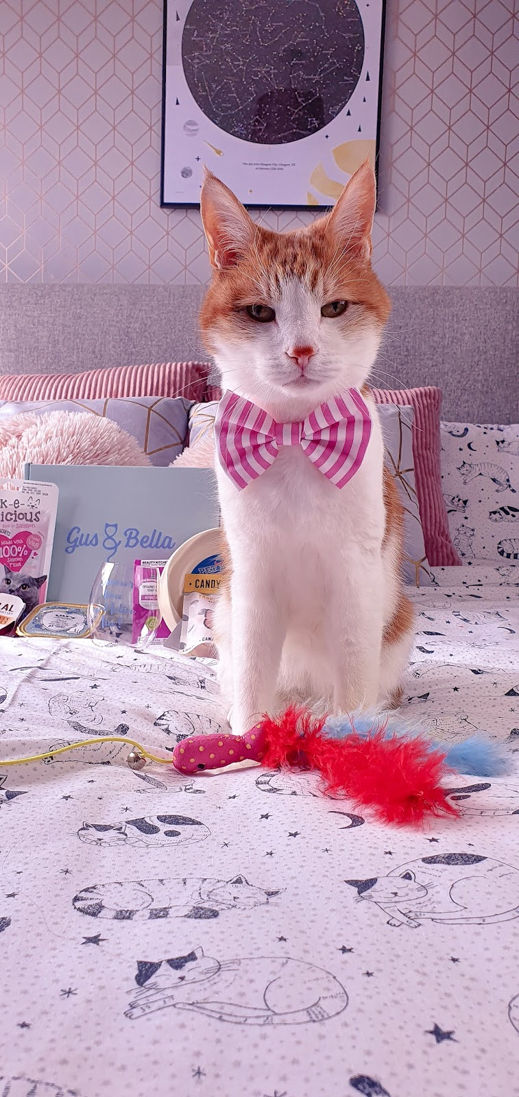 close up of Teddy, a ginger and white cat sitting on a bed with a pink bowtie on